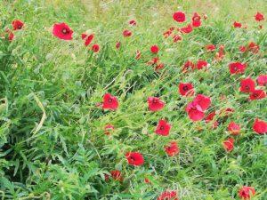 Poppies klaprozen